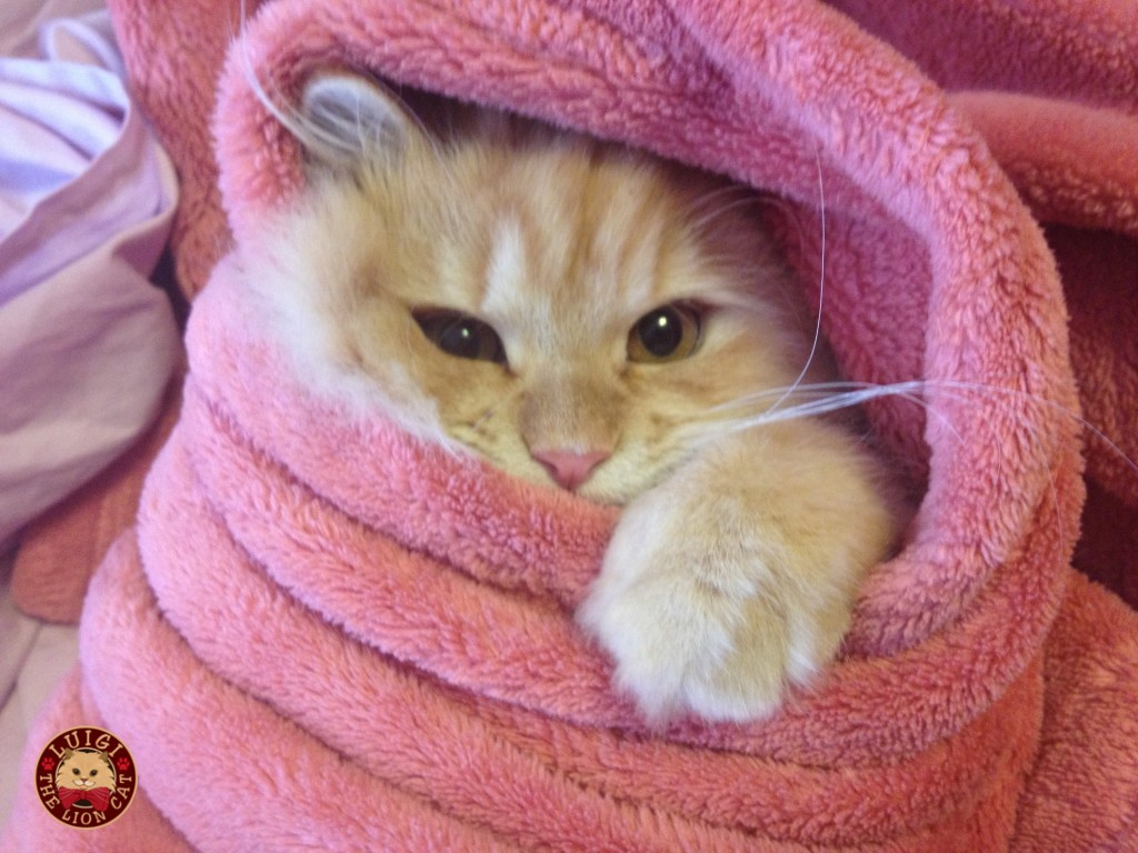 cat wrapped in towel, laundry day