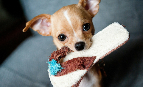 little, dog, slipper
