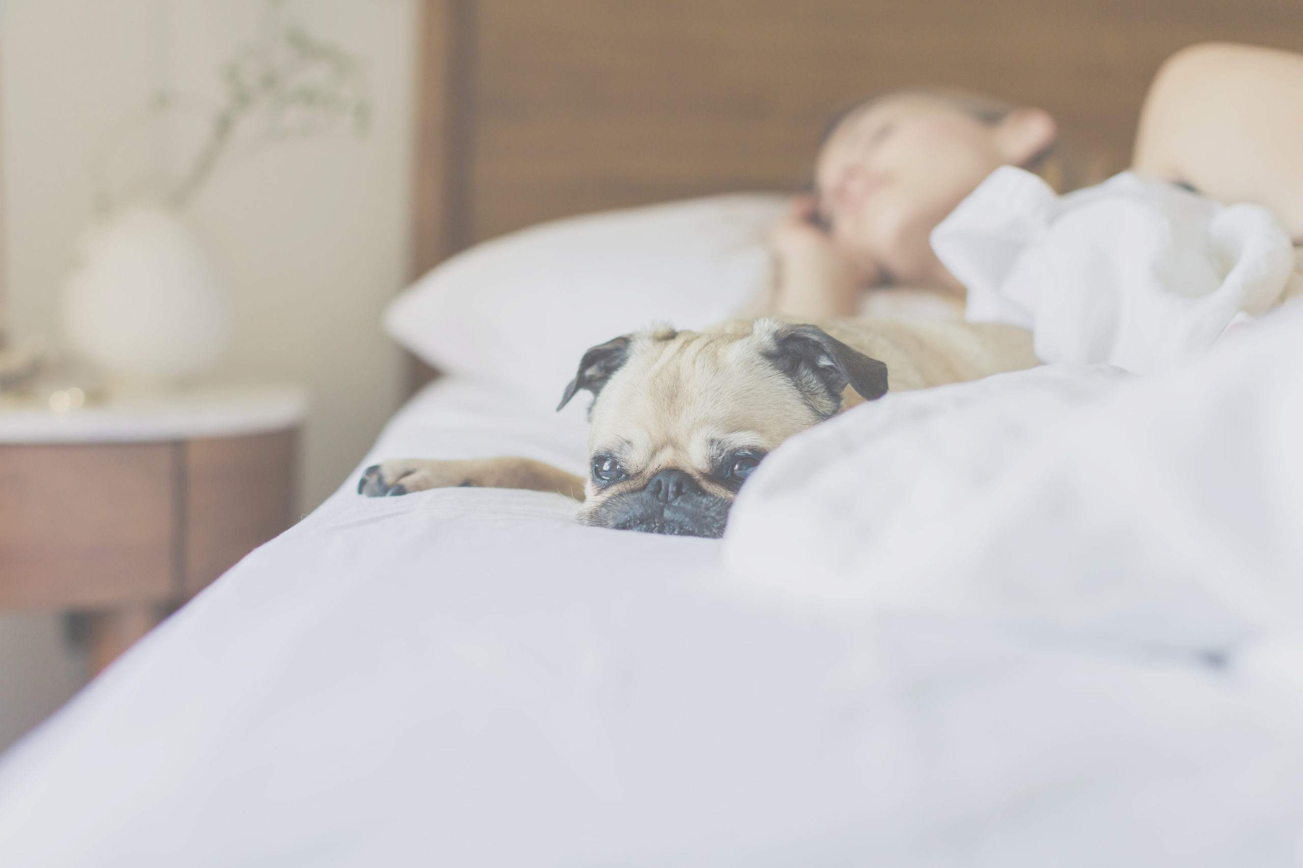 Pug lying on bed with owner asleep next to it
